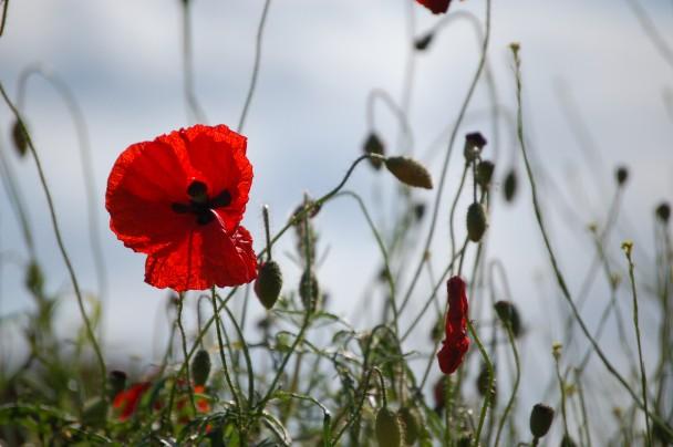 June 2015- Poppies adorn the site around the Memorial Spire